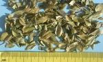 Buch Crenulata leaf (Copy)