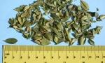 Buchu leaf (Copy)
