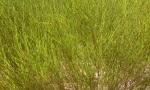 rooibos plant (Copy)
