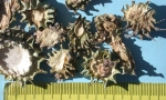 Hoodia Wild Crafted sliced (3) (Copy)