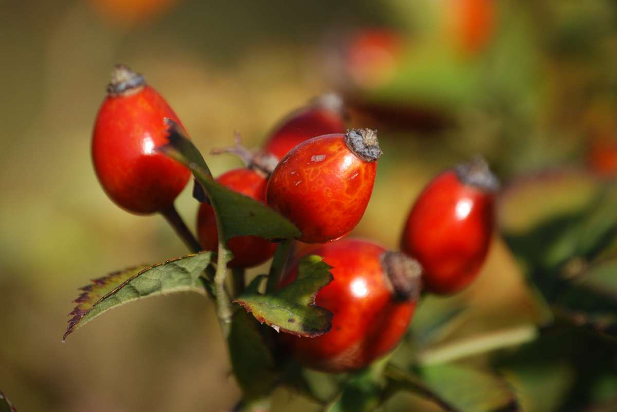 rosehips-285436_1920 (Copy)